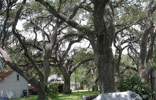 TexasTrees