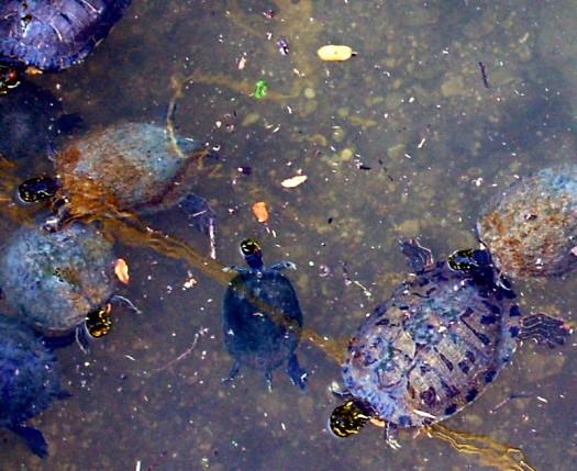 Town Lake Turtles