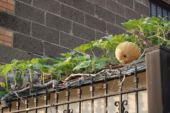 Pumpkins on a Shed