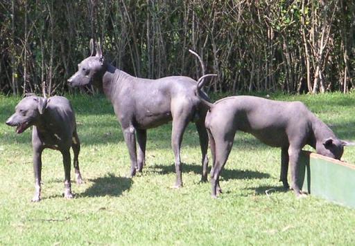 Xolo dogs -Xoloitzcuintli