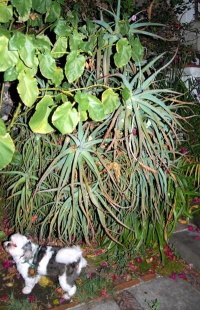 Charlie and the aloe tree