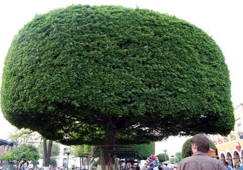 Crazy ficus tree in Queretaro