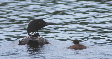 Here's a loon baby, which also rides around on mom's back.