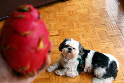 This is simply a gratuitous shot of my adorable dog admiring the pitaya.