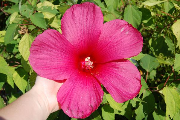 That's my wrist. Yeah, that's a big f'ing  hibiscus flower.
