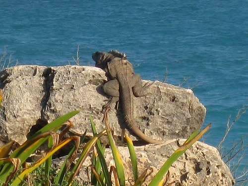 This was one crawling over the Mayan ruins in Tulum. He could easily eat my dog as an appetizer.