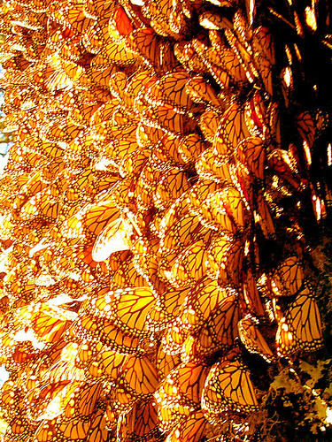 As if Michoacan is not beautiful enough, its forests also host one of the world's greatest migrations, the monarchs.