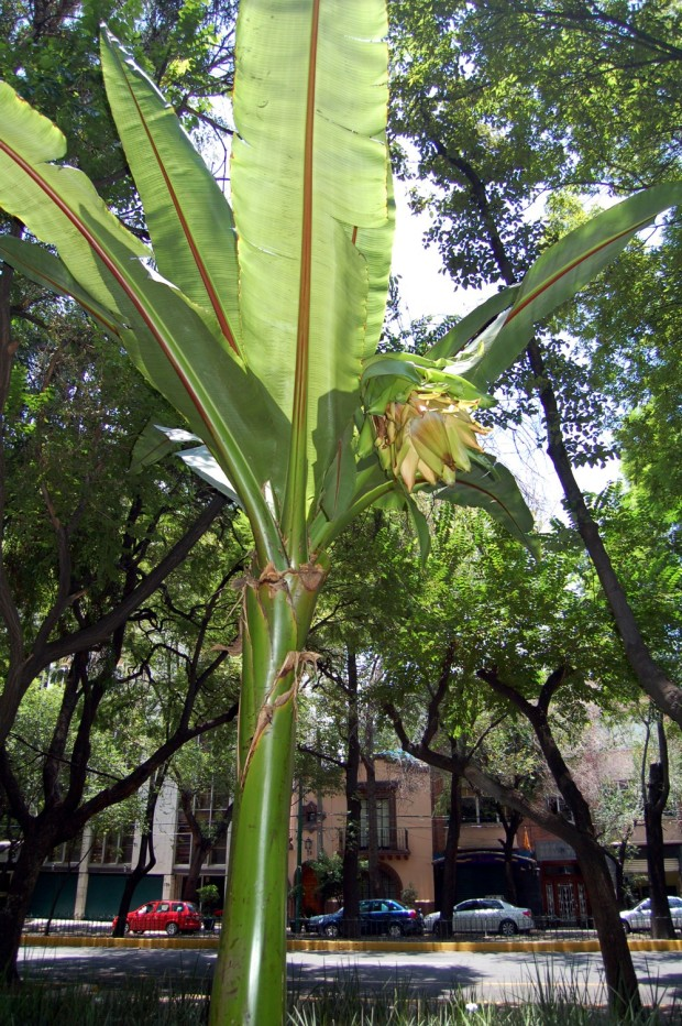 It's the giant bloom on a banana tree in Parque Mexico.