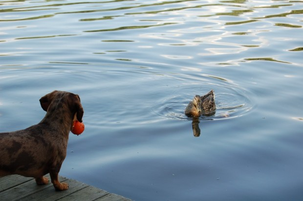 A dog and a duck: A love story.