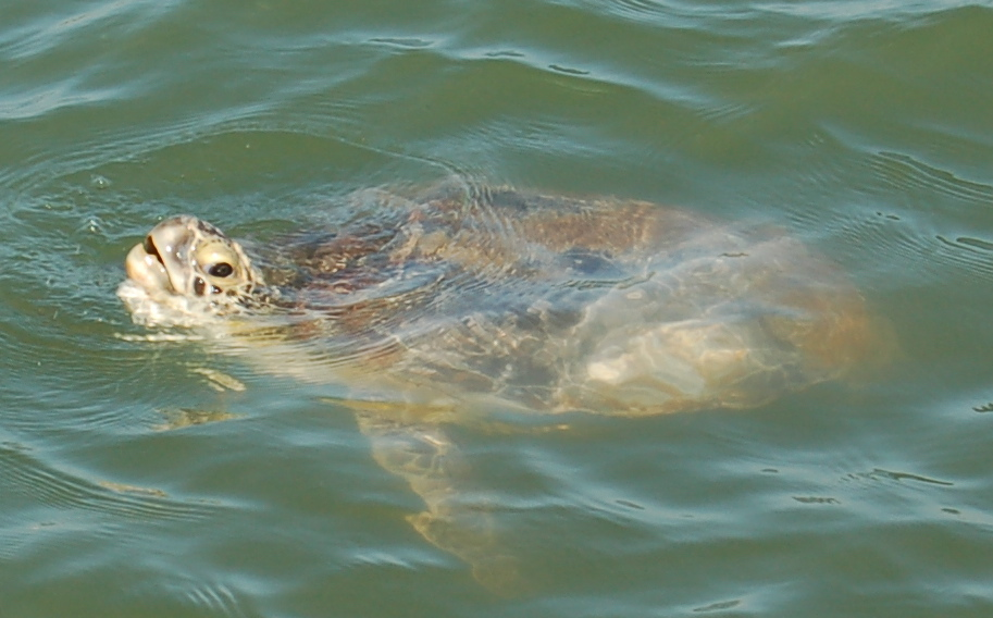 Sea Turtles in Texas With Sea Turtles in Texas