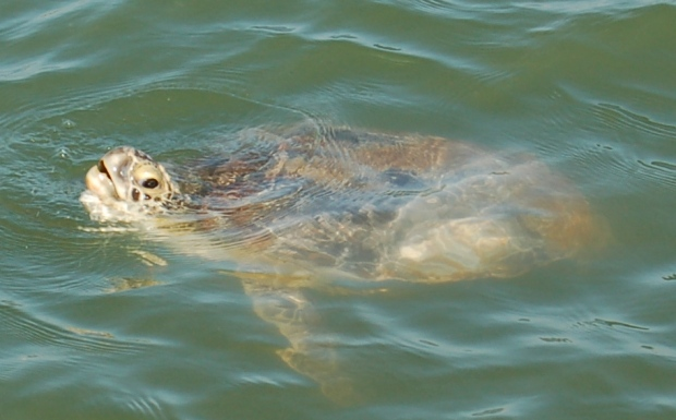 Port Aransas Sea Turtle