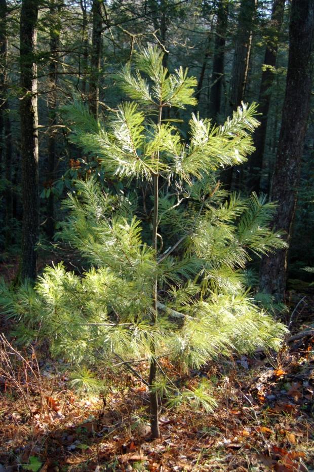 Baby white pine