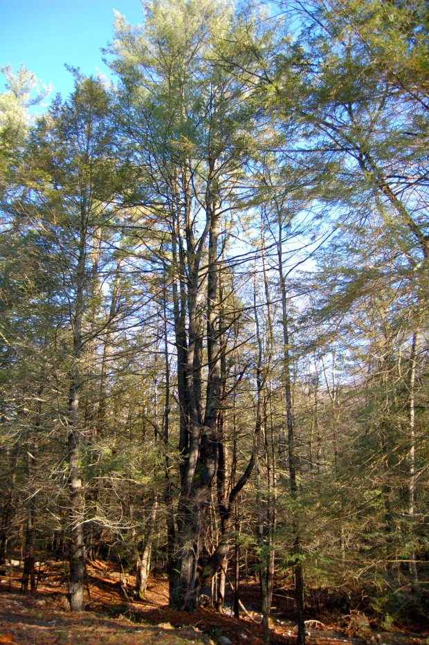 white pine mature personals Eastern white pine is a common forest tree in higher elevations it is the tallest native conifer in eastern north america.