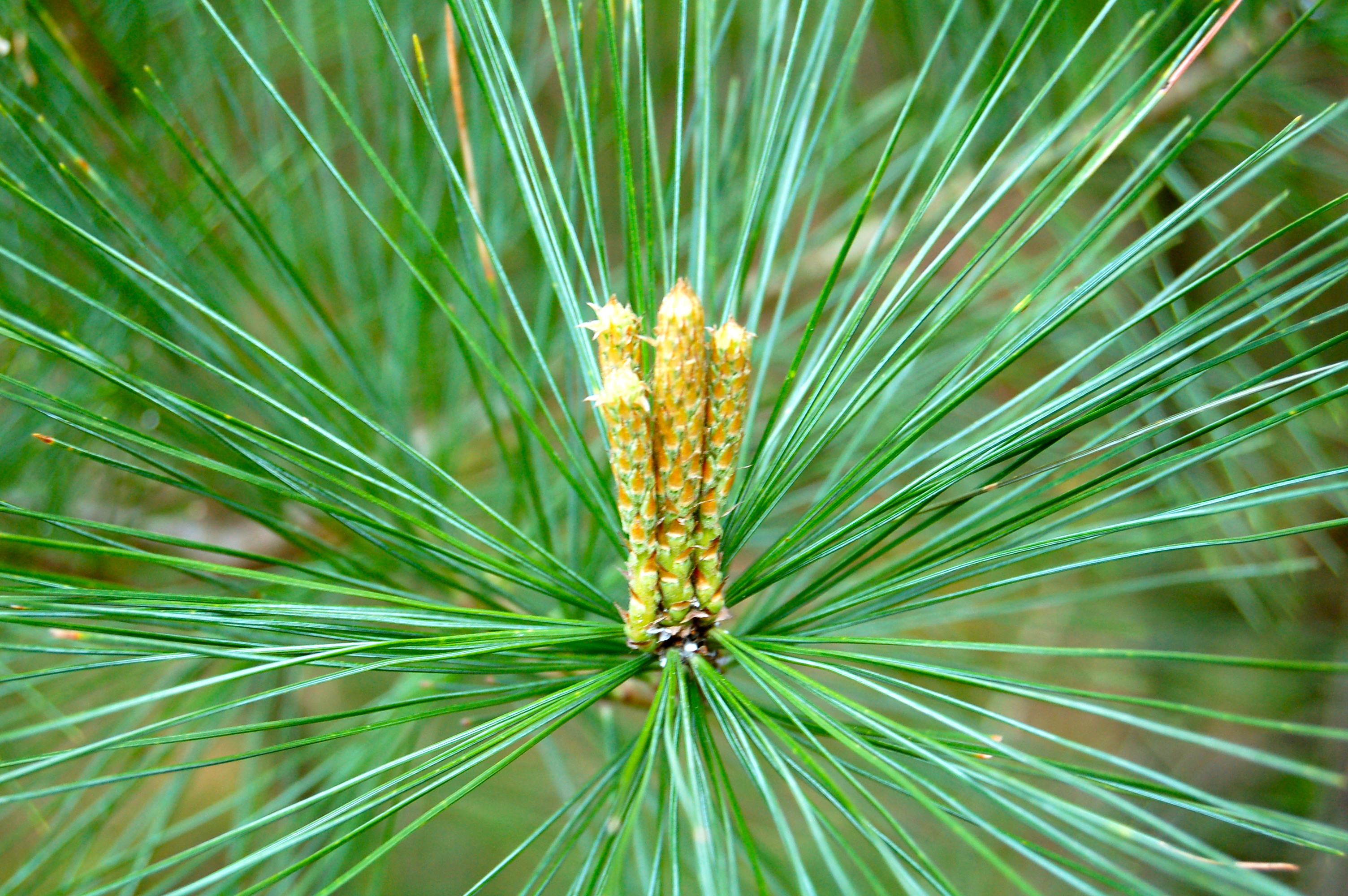 white pine With more than 100 types growing worldwide, almost everyone gets pine confused only a handful of domestic pines commonly are used and may be separated into hard and soft -- or yellow and.