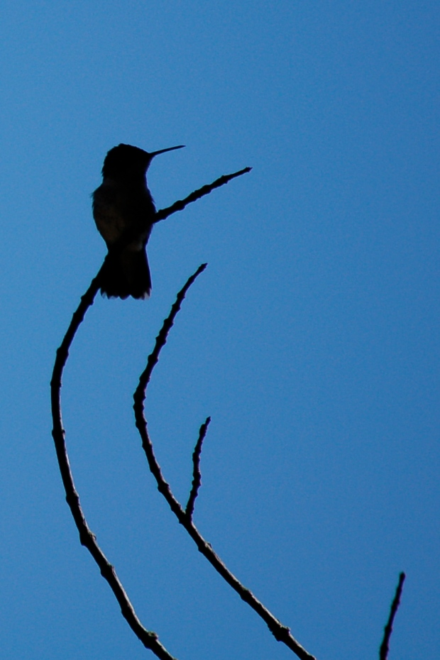 Silhouette of a ruby-throated hummingbird