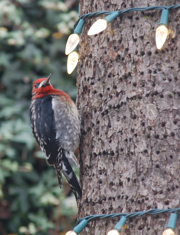 A festive (and fat) red-bellied sapsucker giving me the stare down.