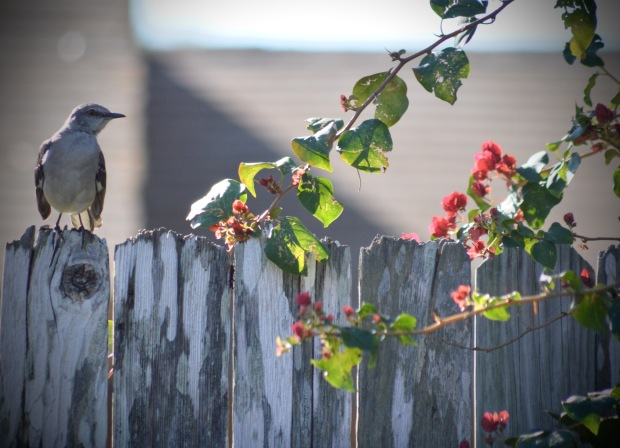 Texas mockingbird on fence with bougainvillea